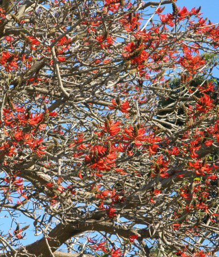 Can you identify this red-flowered tree?