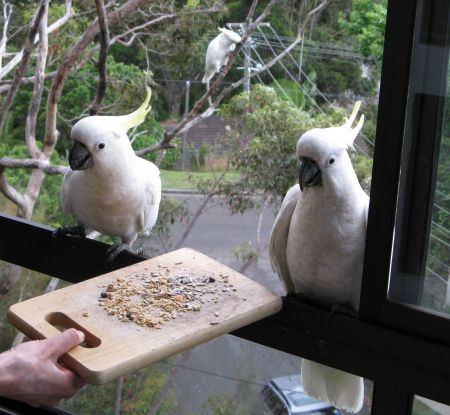 Cockatoos in Sydney