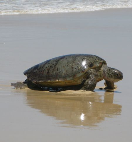 Dingoes, turtles and other creatures on Fraser Island