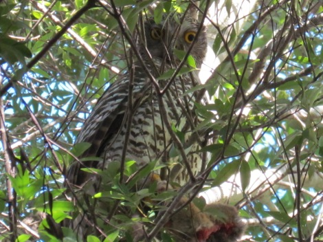 Powerful Owl in Sydney