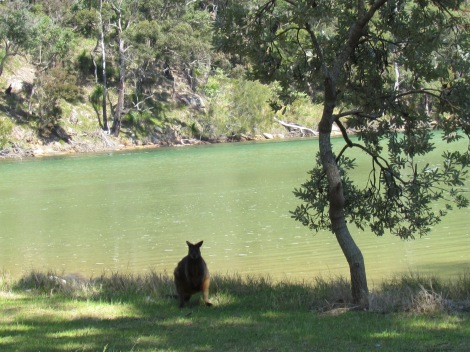 A wallaby under a tree