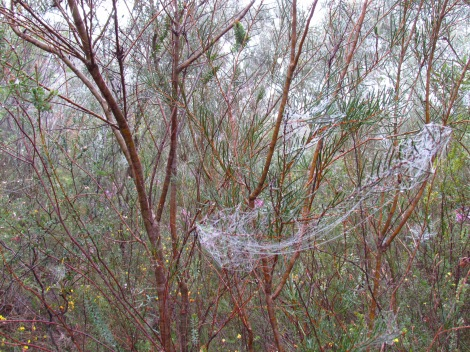 Webs draped across the trees