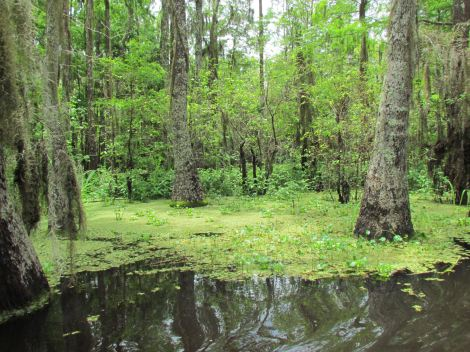Honey Island swamp tour in New Orleans